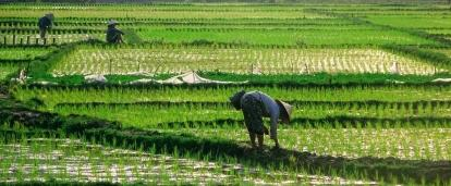 Projects Abroad volunteer opportunities in Vietnam sometime include the working in rice fields.
